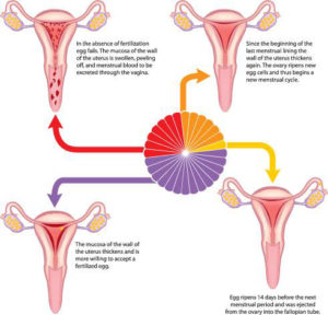 safe sex period after menstrual when do you ovulate in Bellevue
